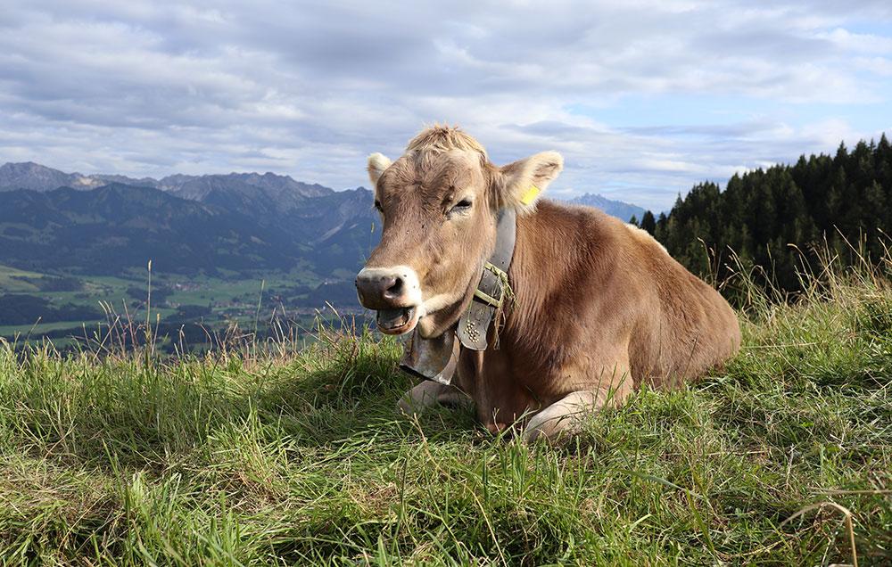 Familienhotel Bayern Kühe